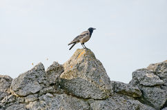 Gray crow on a stone Stock Photos