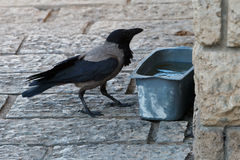 Gray crow. At a trough with water on the sidewalk royalty free stock images