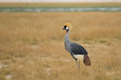 Gray Crowned Crane Stock Images