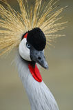 Gray crowned crane Royalty Free Stock Photos