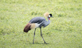 Gray-crowned Crane Balearica regulorum in a Grassy Field. In Northern Tanzania royalty free stock photography