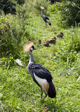 Gray crowned crane birds Stock Photos