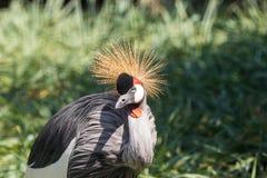 Gray Crowned Crane en el parque nacional de Mapungubwe, el Limpopo, Suráfrica foto de archivo