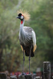 Gray crowned crane Royalty Free Stock Photography
