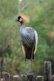 Gray crowned crane Royalty Free Stock Images