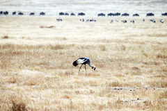 Gray crowned crane Royalty Free Stock Image