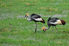 Gray Crowned Cranes Royalty Free Stock Photography