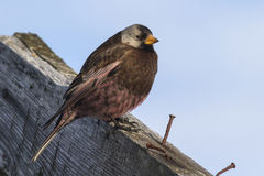 Gray-crowned rosy finch sitting on the roof of the old building Royalty Free Stock Image