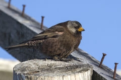 Gray-crowned rosy finch sitting on the roof of the old building Stock Photo