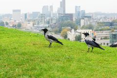 Crows in the city Royalty Free Stock Photography