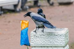 Gray crows take out a bag of garbage in search of food, and pollute the city. Gray crows take out a bag of garbage in search of food, and pollute the city Royalty Free Stock Photography