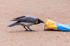 Gray crows take out a bag of garbage in search of food, and pollute the city. Gray crows take out a bag of garbage in search of food, and pollute the city Royalty Free Stock Images