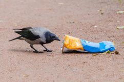 Gray crows take out a bag of garbage in search of food, and pollute the city. Gray crows take out a bag of garbage in search of food, and pollute the city Royalty Free Stock Photo