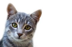 Cat looking at camera white background. Gray, cute cat is looking at camera isolated on white background Stock Photography