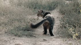 Gray cute cat walking at ground path rear view stock video footage