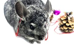 Gray cute elegant chinchilla decorated with red beads on the background of Christmas balls and сhristmas tree cone stock photography