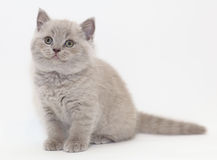 Gray cute funny little kitten British Stock Photos