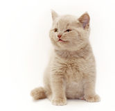 Gray cute little kitten British Royalty Free Stock Photo