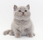 Gray cute  little kitten British Stock Image