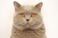 Gray cute little kitten British Stock Photography