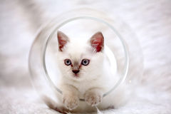 Gray cute  sad little kitten British Royalty Free Stock Image
