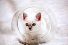 Gray cute  sad little kitten British Royalty Free Stock Image