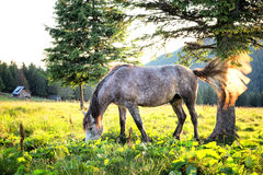 Gray dapple horse with its tail waving Stock Photography