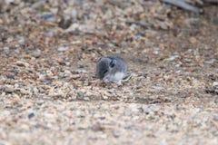 Gray Deer Mouse imagem de stock royalty free