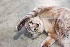 Gray del gattino che sembra allungamento di menzogne Immagini Stock