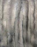 Gray della pelliccia del visone Fotografie Stock