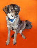 Gray dog in blue bandana sitting on orange Stock Images