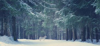 Gray Dog Breed Husky Stands In The Winter Forest, Christmas Trees And Paths Covered With Snow Stock Photography