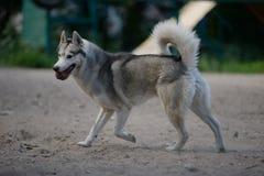 Gray dog breed Siberian Husky Stock Photo