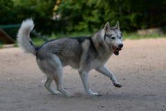 Gray dog breed Siberian Husky Royalty Free Stock Photos