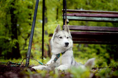 Gray dog breed Siberian Husky in the swing. Gray dog Siberian Husky breed lies in the swing Stock Photo