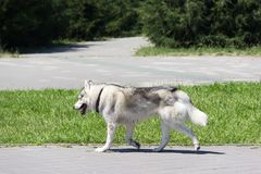 The gray dog of like runs in the park one. The gray dog in a collar runs on a footpath in the park Stock Photos