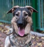 Gray dog in metal collar Stock Photos