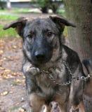 Gray dog in metal collar Stock Image