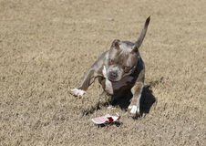 Gray dog playing with a broken plastic cup Royalty Free Stock Photography