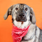 Gray dog in the red bandana sitting on orange Royalty Free Stock Photo