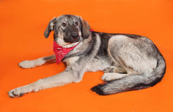 Gray dog in the red bandana sitting on orange Stock Image