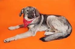 Gray dog in the red bandana sitting on orange Stock Image