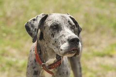 Gray dog in a red collar standing Stock Images