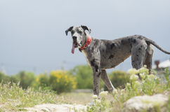 Gray dog in a red collar walking Royalty Free Stock Images
