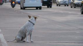 Gray Dog Sits desabrigado na estrada com passagem de carros e de motocicletas Movimento lento Ásia, Tailândia video estoque