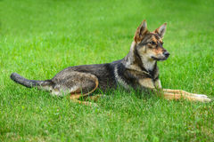 Gray dog Stock Photo