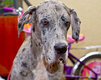 Gray dog with small black spots on the wool Royalty Free Stock Photo
