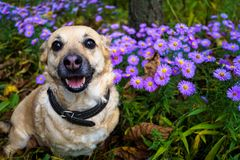 gray dog on a walk in the autumn Park among the flowers Stock Photo