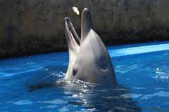 Gray Dolphin on Blue Water Stock Photography