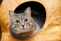 Gray domestic cat in the cat house Royalty Free Stock Photo